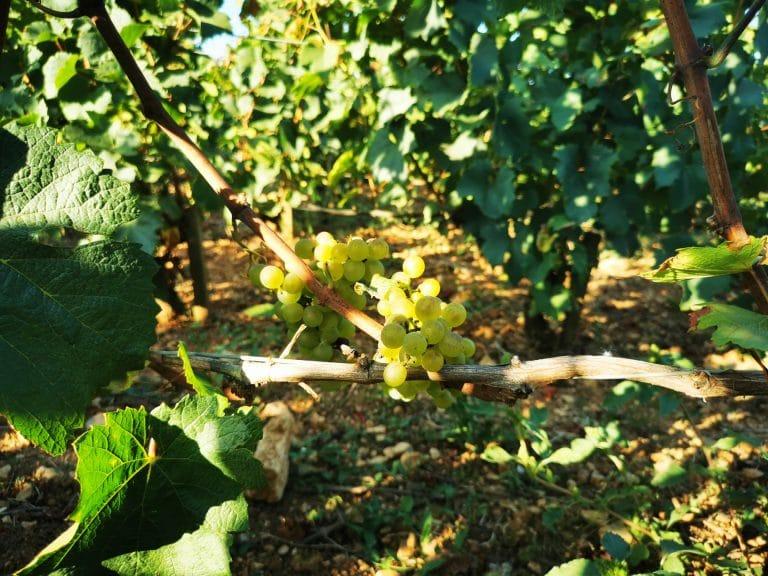 Petites grappes de chardonnay en Puligny-Montrachet premier cru Les Folatières, le 6 septembre.