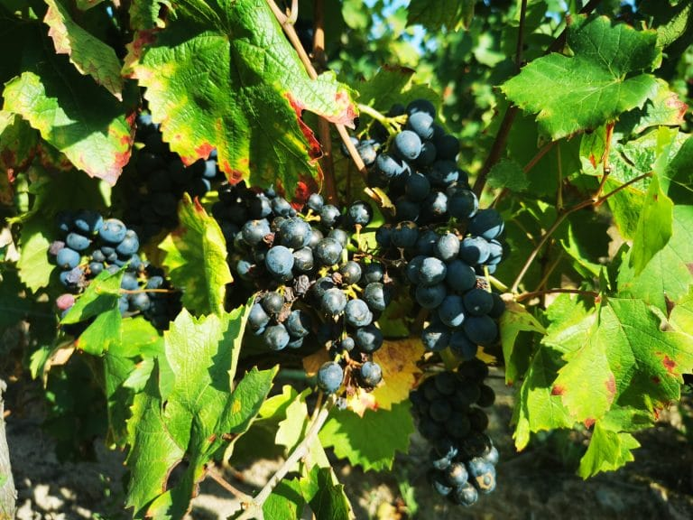Grappes de gamay le 8 septembre 2021, à quelques jours des vendanges, dans le vignoble de Fleurie.